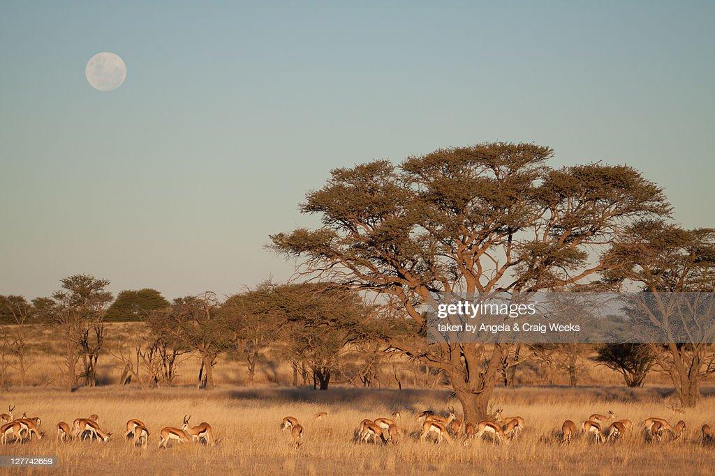 Springbok grazing in landscape at sunset