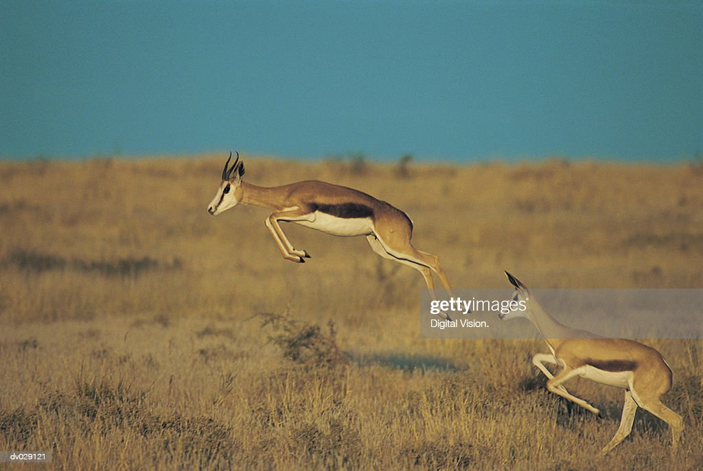 Springbok leaping, Central Kalahari