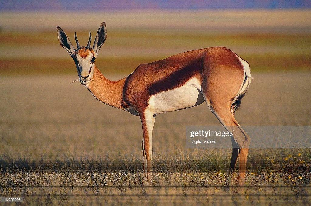 Springbok (Antidorcas marsupialis), Namibia