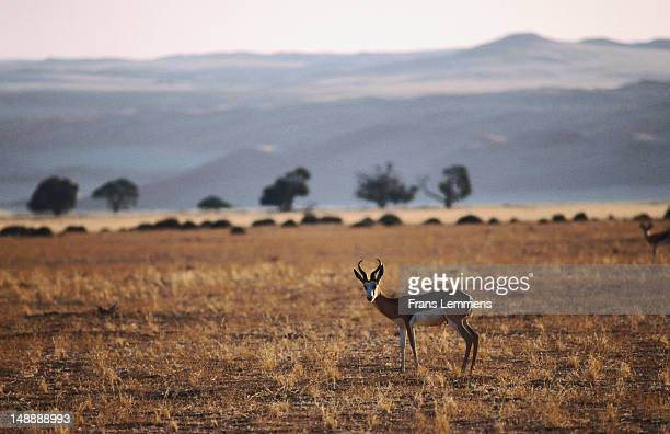 Springbok (antidorcas marsupialis) on plain.