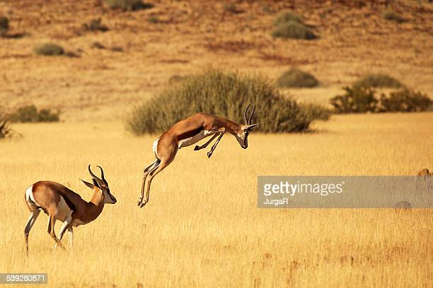 Springbok Running and Jumping - on Safari in Africa
