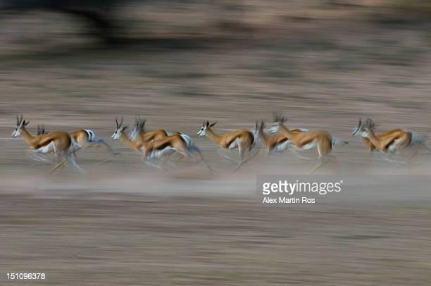 Springbok running