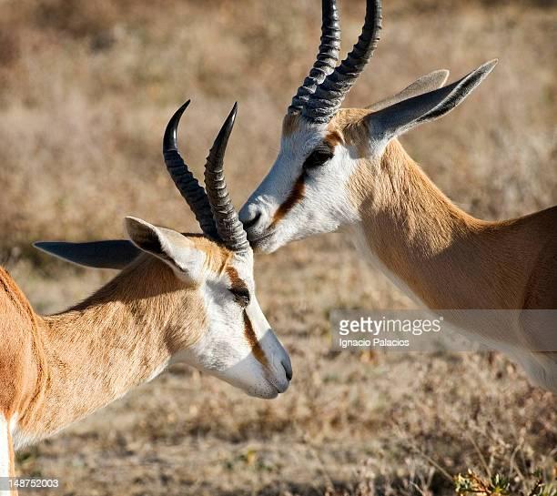 Springboks (Antidorcas marsupialis).