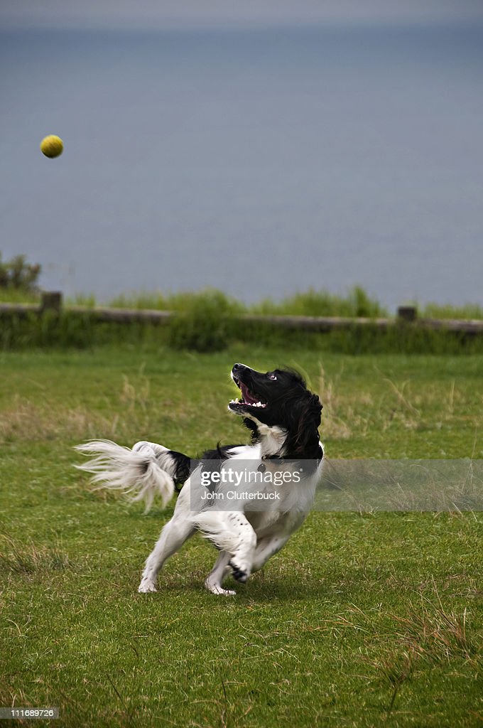 Springer Spaniel chasing a ball : Stock Photo