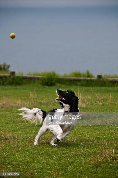 Springer Spaniel chasing a ball