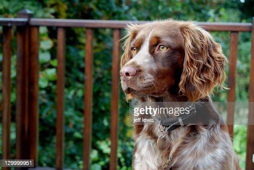 Springer spaniel dog against railing