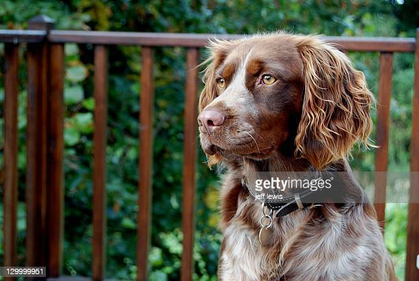 Springer spaniel dog against railing