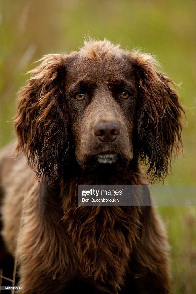 A Springer Spaniel dog : Stock Photo