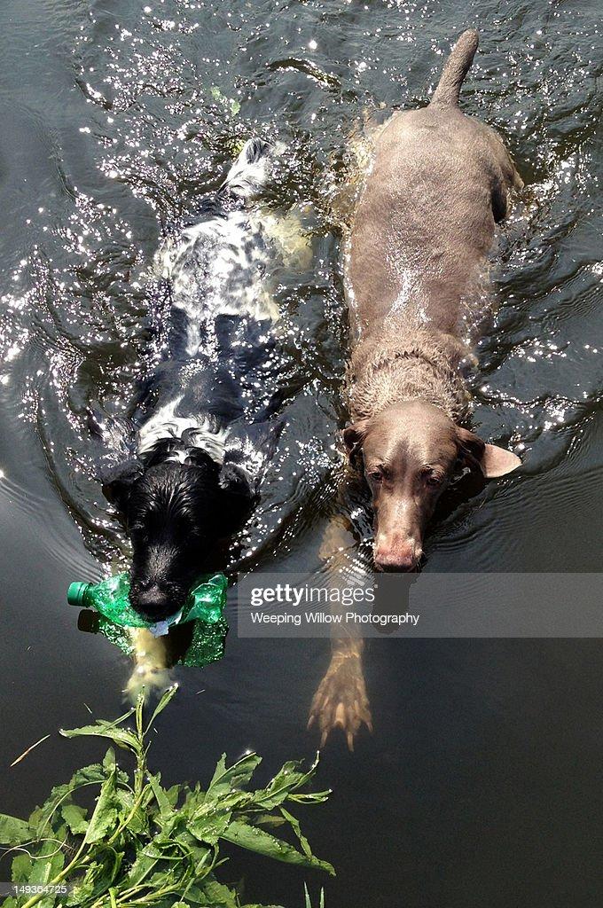 Springer Spaniel dog : Stock Photo