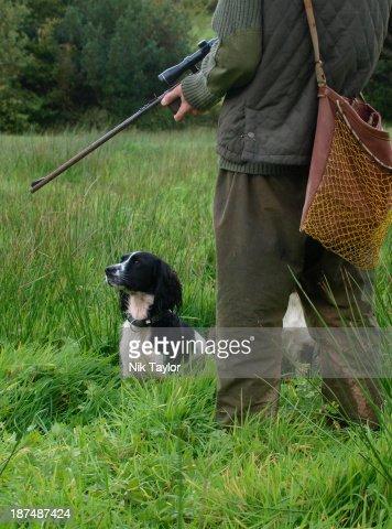 Springer spaniel gun dog, UK (MR)
