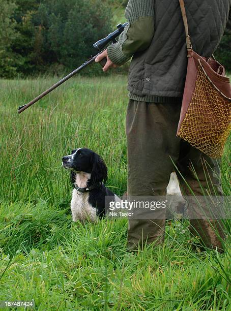 Springer spaniel gun dog, UK (MR)