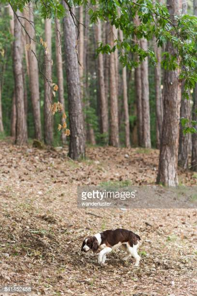 Springer Spaniel is on the hunt sniffing out truffles in the forest on a summer day, Abruzzo, Italy, Europe