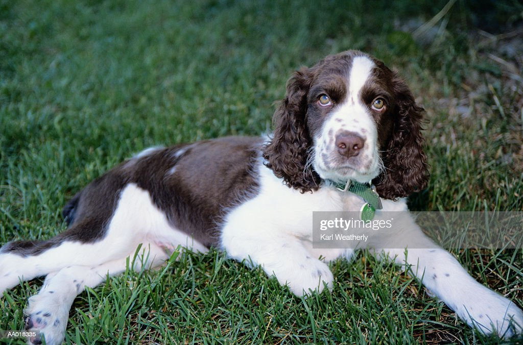 Springer Spaniel : Stock Photo