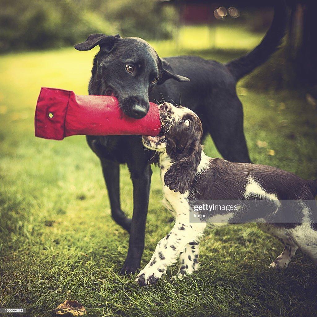 springer spaniel puppy and young labrador : Stock Photo
