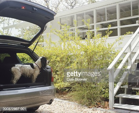 Springer Spaniel waiting in car trunk, side view : Stock Photo