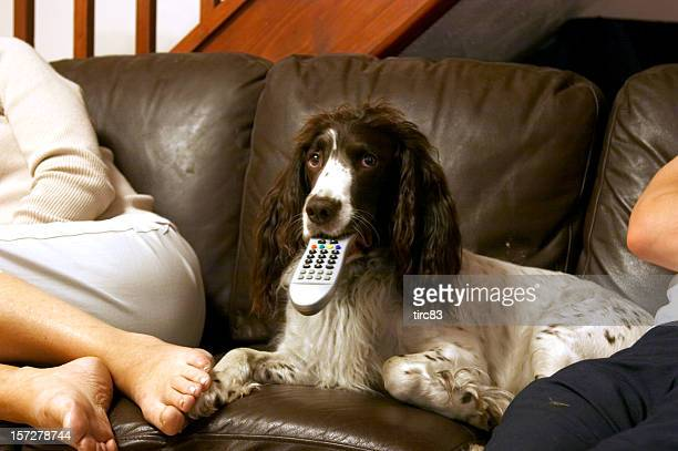 Springer spaniel with TV remote and owner
