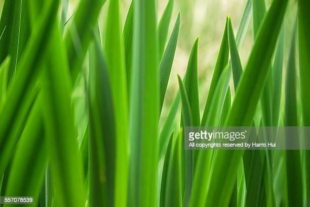 Springing Green - Minoru Park XT2193