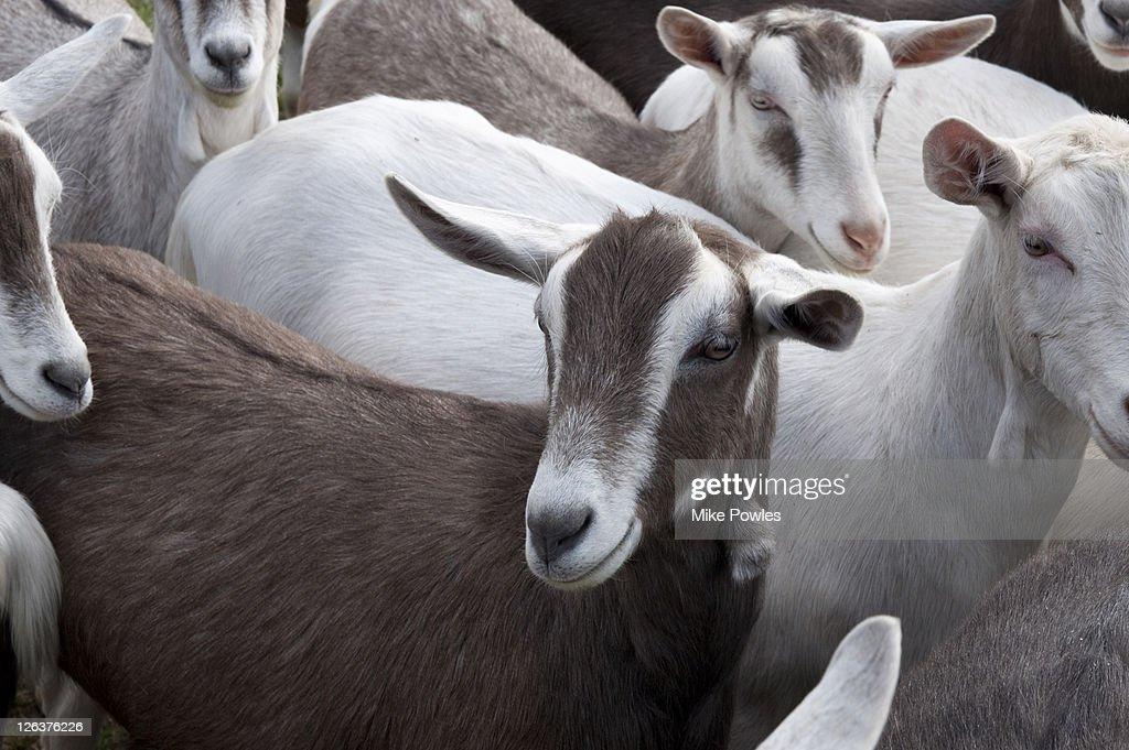 Essex United Kingdom  city photo : ... Goat Farm Maldon Essex United Kingdom Stock Photo | Getty Images