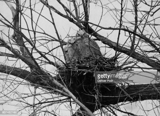 Springtime Arrival For The Young A mother owl and her two offspring enjoy the arrival of spring on the grounds of the Rocky Mountain Arsenal The...