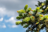 Springtime background with new spring growth on blue spruce