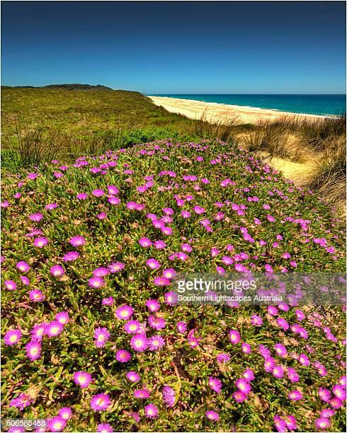 Spring-time blooms of Carpobrotus glaucescens, King Island, Bass Strait, Tasmania, Australia