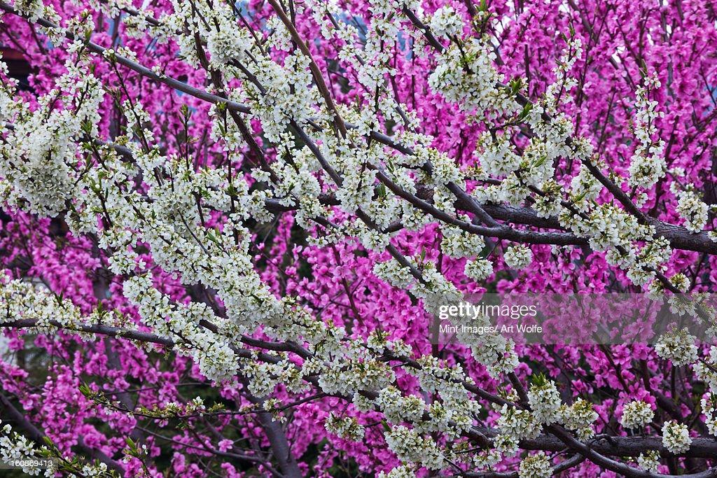 Springtime blossoms, Bhutan : Stock Photo