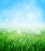 Green field of grass growing slowly under a spring blue sky