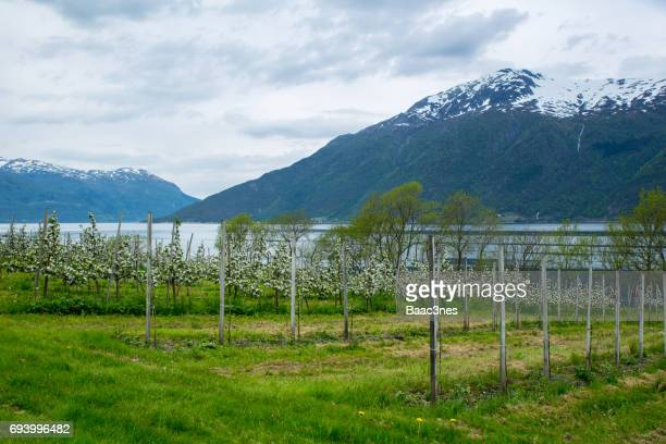 Springtime in Norway - Flowering fruit trees