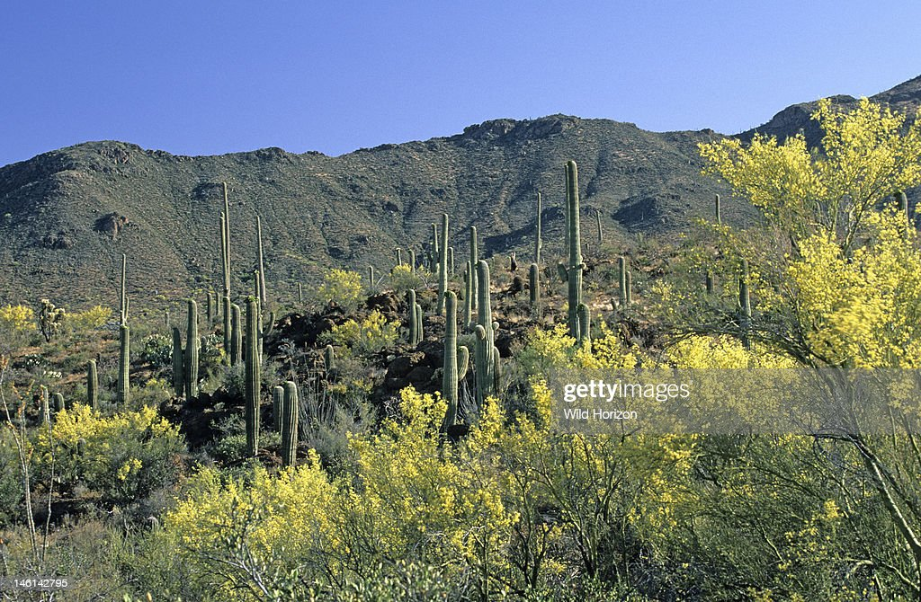 Springtime in Sweetwater Preserve a 700acre county park created in 2004 with blooming foothill palo verde trees and saguaro cactus in background...