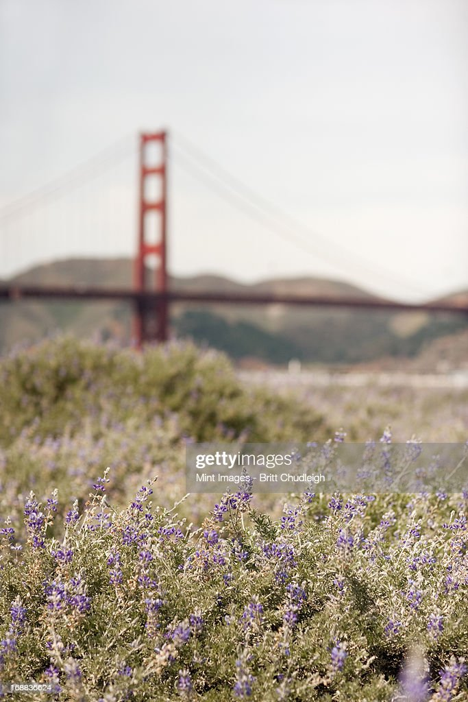 Springtime. Wild flowers in a meadow, and view to the Golden Gate bridge in San Francisco bay. : Stock Photo