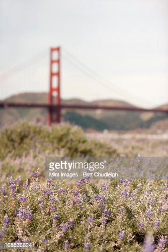Springtime. Wild flowers in a meadow, and view to the Golden Gate bridge in San Francisco bay. : Stock-Foto