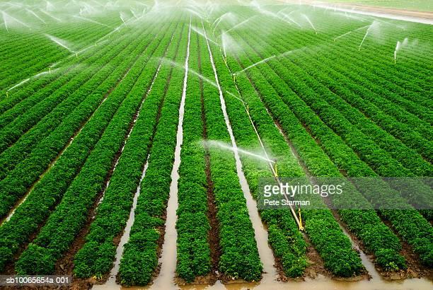 Sprinkler watering bell pepper field, elevated view