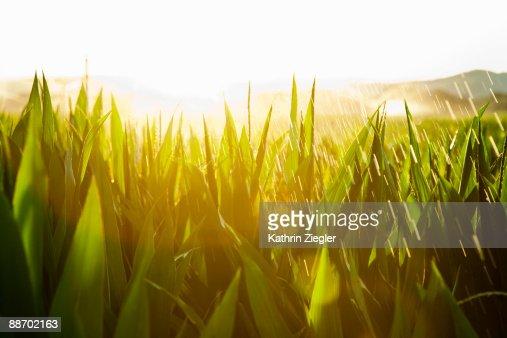 sprinklers watering cornfield