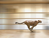 A sprinting cheetah speeds through an office