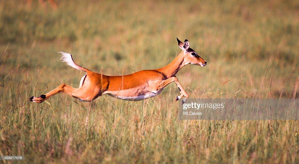 Sprinting Impala
