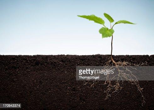 Plante avec les racines visibles