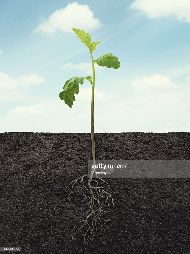 sprout of oak with root in ground at sky background