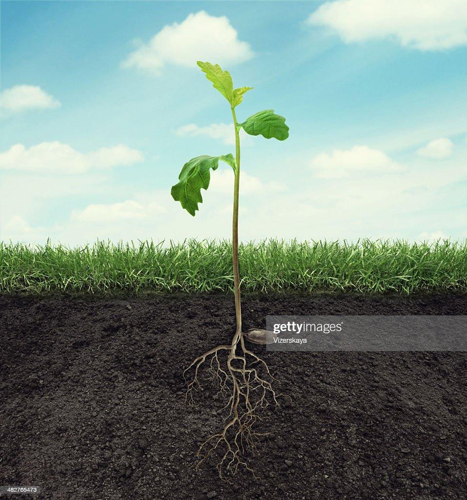 Germe de chêne avec racines dans le sol au ciel arrière-plan : Photo