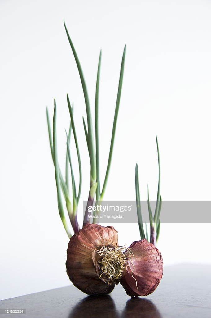 Sprout of onion : Stock Photo