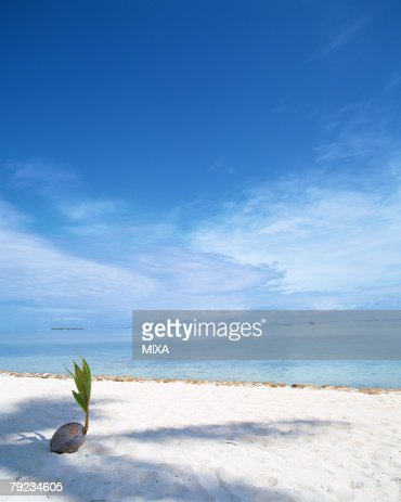 Sprouting coconut on beach : Stock Photo