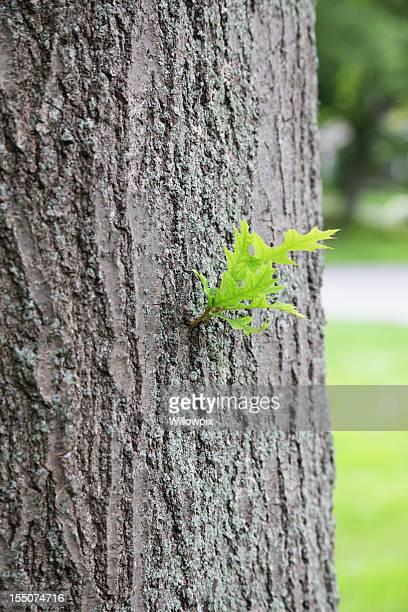 Pousse de feuilles de Chêne des marais (Quercus palustris) Tronc d'arbre