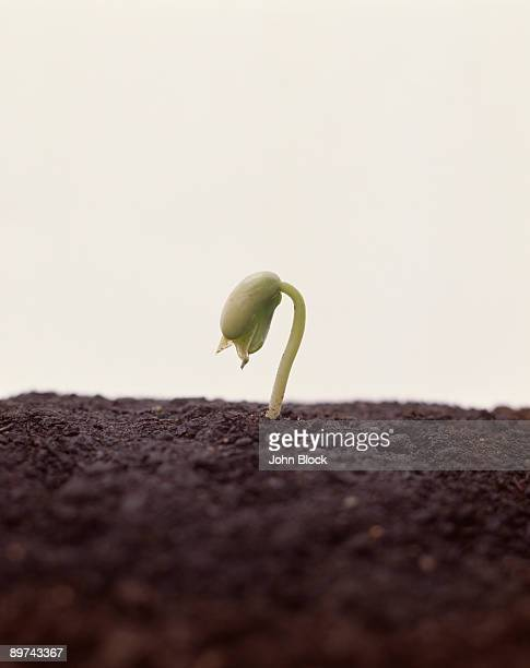 Sprouting seedling