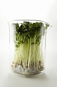 Sprouts growing in a beaker, front view, close up, white background