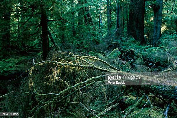 Spruce and cedar old growth forest, Queen Charlotte Islands, British Columbia, Canada.