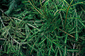 green spruce branches lie on the ground