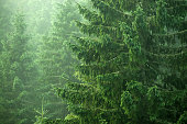 coniferous trees, spruce and fir trees