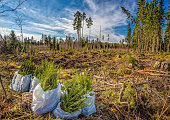 Planting a spruce forest in southern Finland.