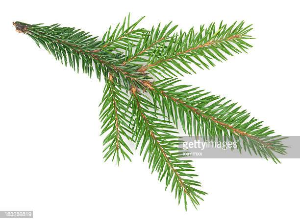 Spruce tree branch isolated on a white background