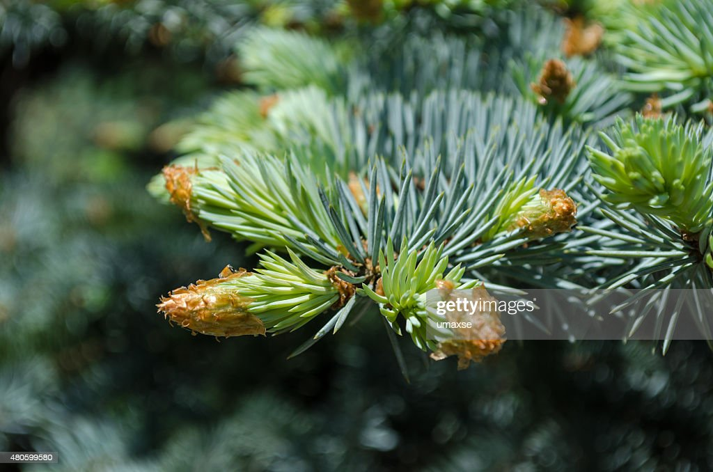 Spruce tree branch : Stock Photo
