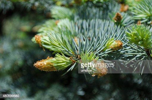 Spruce tree branch : Stock Photo
